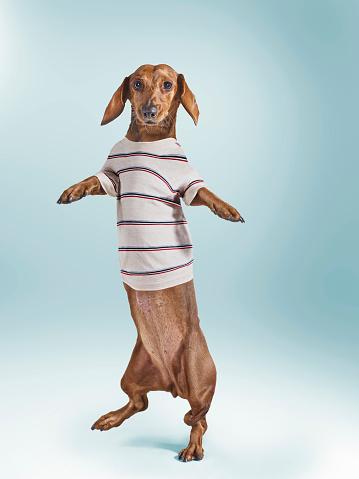 Sweatshirt「Standing Dashchund Dog Wearing Striped T-Shirt」:スマホ壁紙(3)