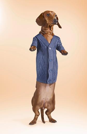 Sweater「Standing Dashchund Dog Wearing Blue Cardigan」:スマホ壁紙(3)
