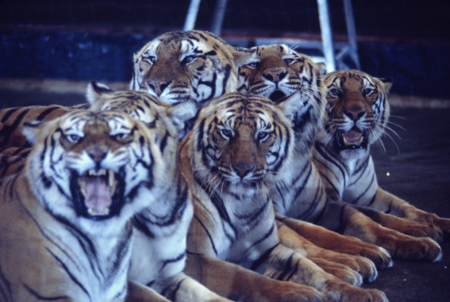 Tiger「Group of tigers lying in circus arena」:スマホ壁紙(1)