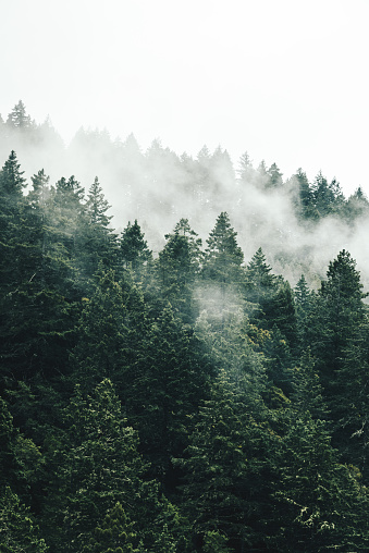 North America「pine tree in the fog in oregon」:スマホ壁紙(3)