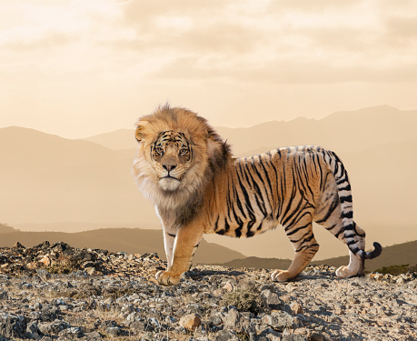 Tiger「Lion-Tiger Cross Breed」:スマホ壁紙(10)