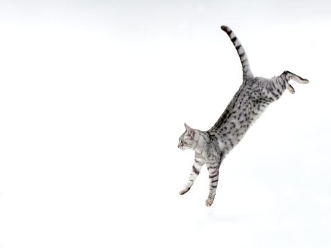Tabby Cat「Cat jumping down on white」:スマホ壁紙(11)