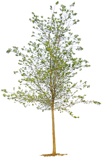 Planting「Young Tree on White Background」:スマホ壁紙(13)