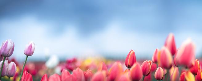 Keukenhof Gardens「Tulip Field」:スマホ壁紙(11)