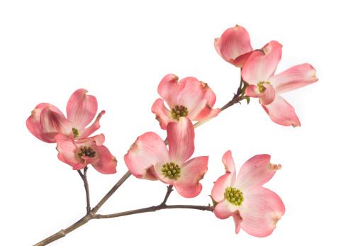 枝「ミズキの花」:スマホ壁紙(17)
