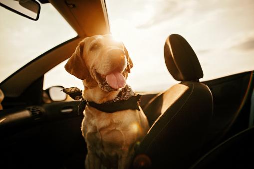 Animal Head「Dog on front sit of the car」:スマホ壁紙(14)