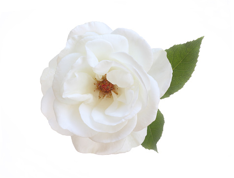 Single Flower「Pure white fragrant rose with leaf on white.」:スマホ壁紙(14)
