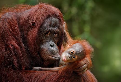 Safari「orangutans」:スマホ壁紙(19)