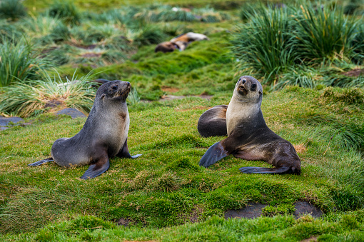 Sea Lion「Two Antarctic fur seals (Arctocephalus gazella) sitting on grass」:スマホ壁紙(3)