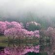 Oriental Cherry Tree壁紙の画像(壁紙.com)