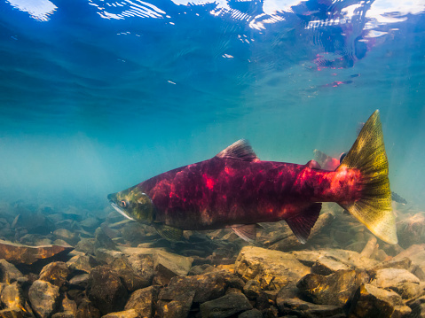 Shallow「Sockeye Salmon, also known as Red Salmon (Oncorhynchus nerka), preparing to beach spawn in Eyak Lake, near Cordova, Alaska during the summer」:スマホ壁紙(19)
