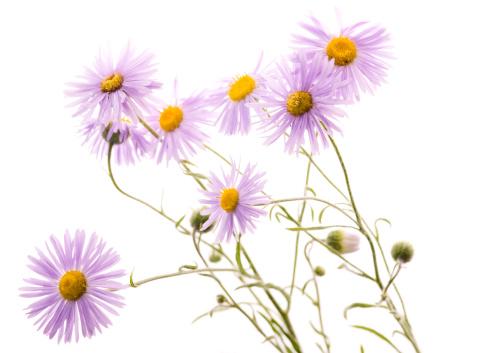 Wildflower「Wild aster on white」:スマホ壁紙(8)