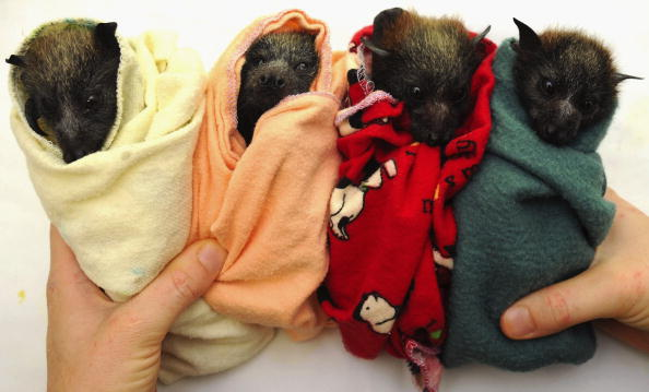 Recovery「Baby Flying Foxes Rescued In Queensland」:写真・画像(18)[壁紙.com]