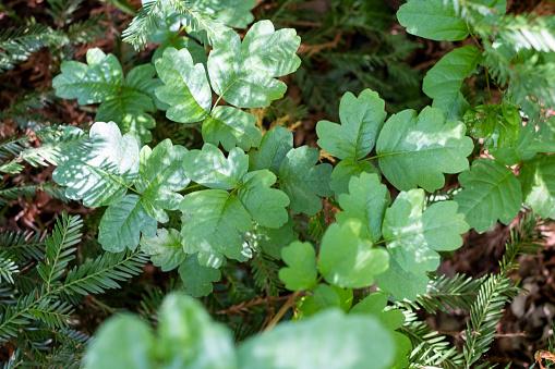 Allergy Medicine「Green poison oak in the woods」:スマホ壁紙(10)