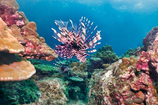 Andaman Sea「Underwater Lionfish aka Zebrafish (Pterois volitans) on coral reef」:スマホ壁紙(7)