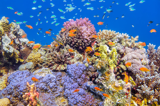 Soft Coral「Underwater Sea life on beautiful coral reef with lot of tropical Fish in Red Sea - Marsa Alam - Egypt」:スマホ壁紙(3)