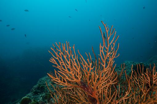 Soft Coral「Underwater red finger Gorgonia (Diodogorgia nodulifera) coral with blue sea background」:スマホ壁紙(4)