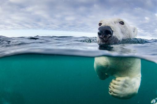 Arctic「Underwater Polar Bear by Harbour Islands, Nunavut, Canada」:スマホ壁紙(19)