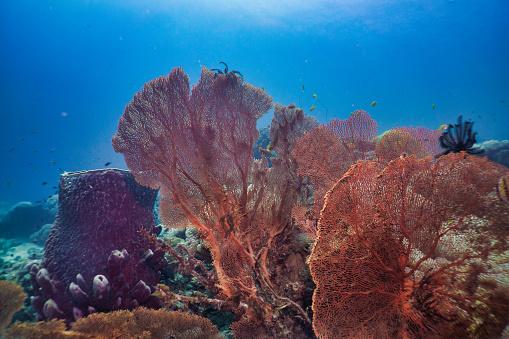 Soft Coral「Underwater healthy Gorgonian sea fan coral reef」:スマホ壁紙(8)