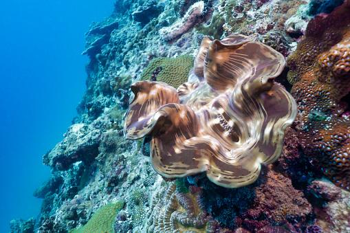潜水「浅いサンゴ礁の水中ジャイアントアサリ(トリダッカナギガ)」:スマホ壁紙(17)