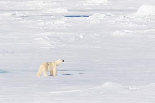 Pack Ice「Adult male polar bear on pack ice」:スマホ壁紙(3)