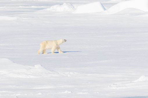 Pack Ice「Adult male polar bear on pack ice」:スマホ壁紙(7)