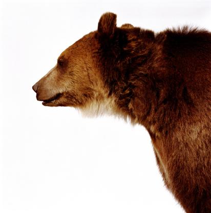 Endangered Species「Brown bear (Ursus arctos), side view」:スマホ壁紙(17)