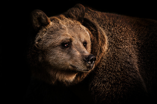 Animal Hair「Brown bear portrait」:スマホ壁紙(12)