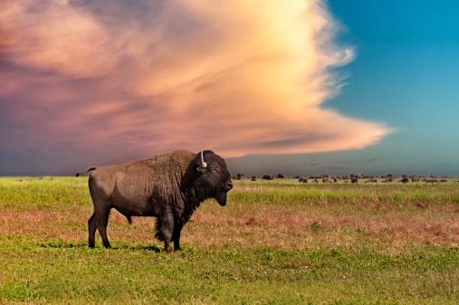 Horned「American bison at sunset」:スマホ壁紙(13)