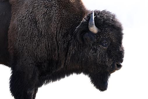 Wilderness Area「American Bison, Yellowstone National Park, Wyoming, America, USA」:スマホ壁紙(4)