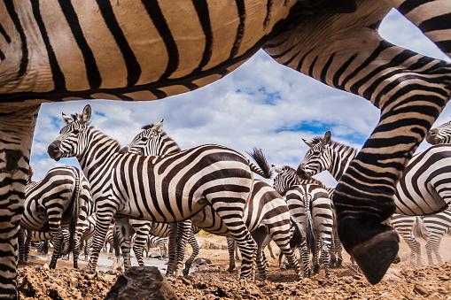 Walking「A spy camera capturing Zebra」:スマホ壁紙(1)