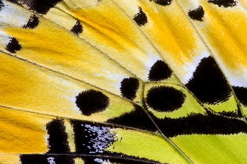 Limb - Body Part「Butterfly wing detail Graphium antiphates」:スマホ壁紙(14)