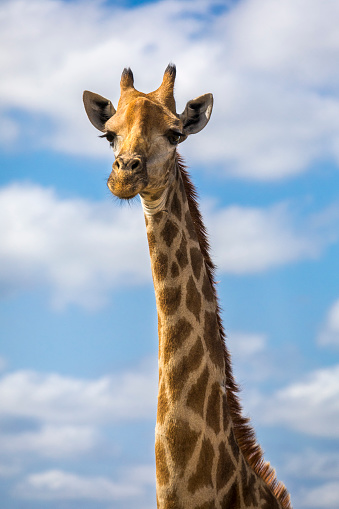 Animals In Captivity「Headshot of giraffe, Sabi Sands Game Reserve, Mpumalanga, South Africa」:スマホ壁紙(18)
