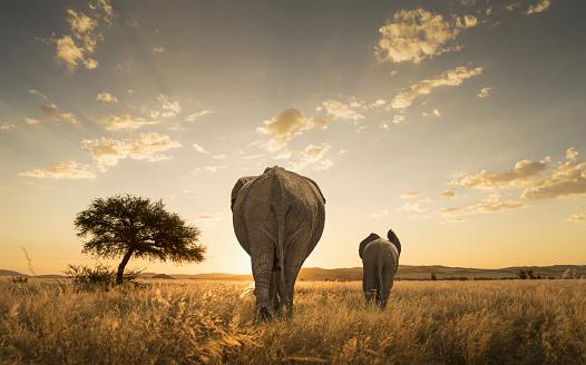 Walking「Elephant and calf grazing in savanna field」:スマホ壁紙(7)