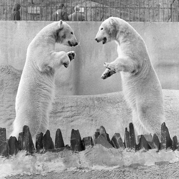 Animal「Polar Bears」:写真・画像(4)[壁紙.com]