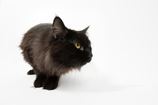 Black Color「Rescue Animal - portrait of Domestic Longhair cat」:スマホ壁紙(11)