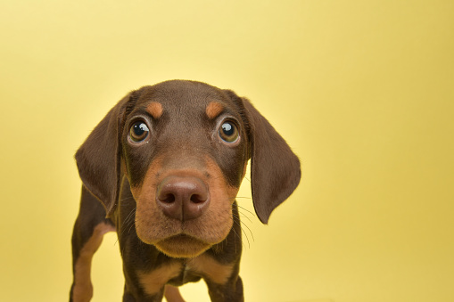 Animal Hair「Rescue Animal - cute chocolate and tan Doberman puppy」:スマホ壁紙(12)