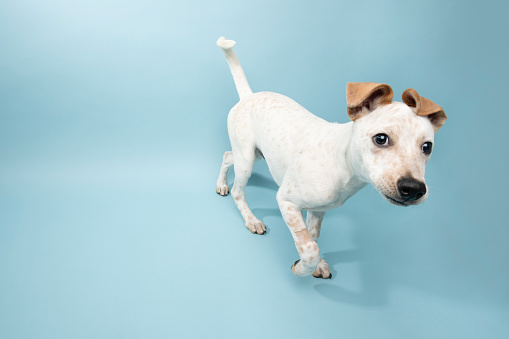 Mixed-Breed Dog「Rescue Animal - Cattle Dog mix puppy」:スマホ壁紙(3)