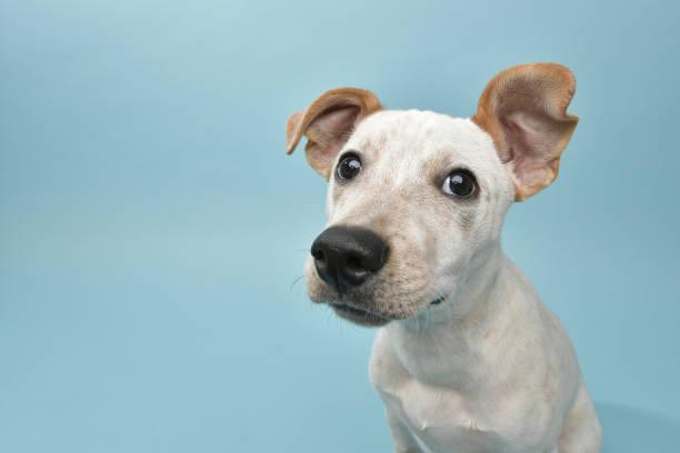 Rescue Animal - Cattle Dog mix puppy:スマホ壁紙(壁紙.com)