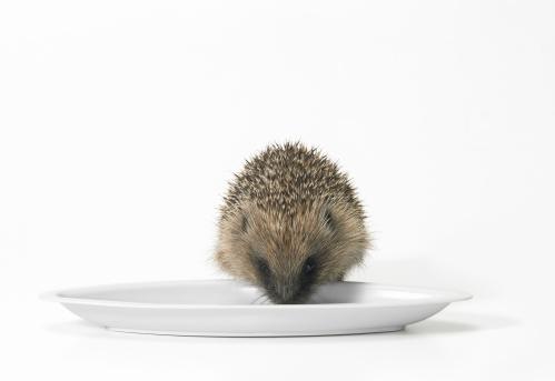 Three Quarter Length「Hedgehog Feeding Off of a Plate Against a White Background」:スマホ壁紙(1)