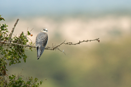 ケニア山「Black-Shouldered Kite (Elanus Caeruleus Caeruleus) Mount Kenya, Africa」:スマホ壁紙(7)