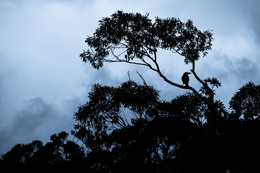 クレイドル山「A crow sitting in a tree at about 1000m elevation at Cradle Mountain.」:スマホ壁紙(18)