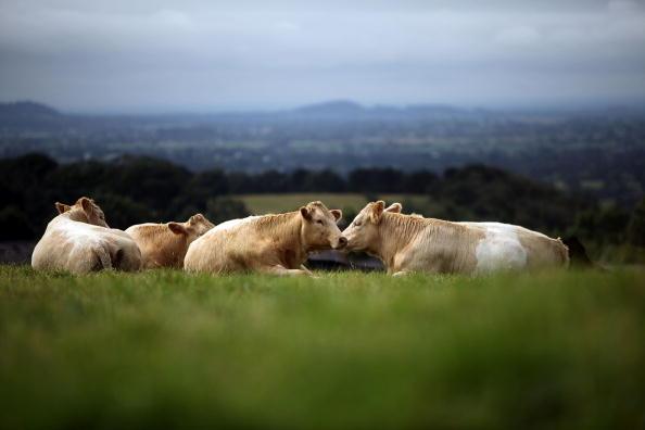 Cow「UK Food Industry Warning On Domestic Food Production」:写真・画像(15)[壁紙.com]