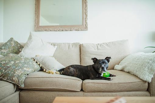 Satisfaction「Dog Relaxing on Sofa」:スマホ壁紙(13)