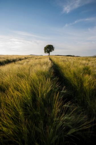Single Tree「Germany, Rhineland-Palatinate, Vulkan Eifel, wheat field and single tree on the horizon」:スマホ壁紙(4)