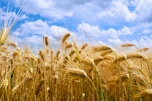 Barley「Germany, Rhineland-Palatinate, Barley (Hordeum vulgare), barley field, ears」:スマホ壁紙(7)