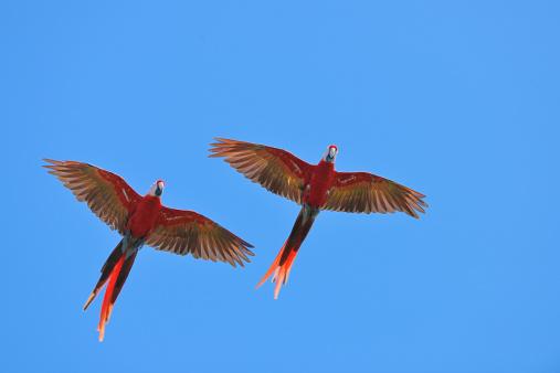 Central America「Scarlet Macaw (Ara macao) in flight.」:スマホ壁紙(13)