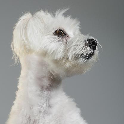 Animal Head「Maltese bichon dog portrait」:スマホ壁紙(18)