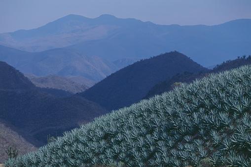 Mexico「Agave field in San Luis del Rio」:スマホ壁紙(5)
