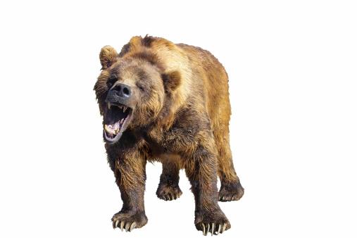 Claw「Grizzly Bear Isolated」:スマホ壁紙(17)